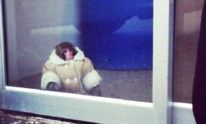 monkey wearing a coat lost in Toronto Ikea